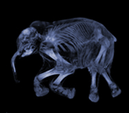 woolly mammoth ct Medical Images