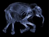 Woolly Mammoth MRI in two views