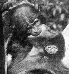 two views of bonobo monkeys kissing